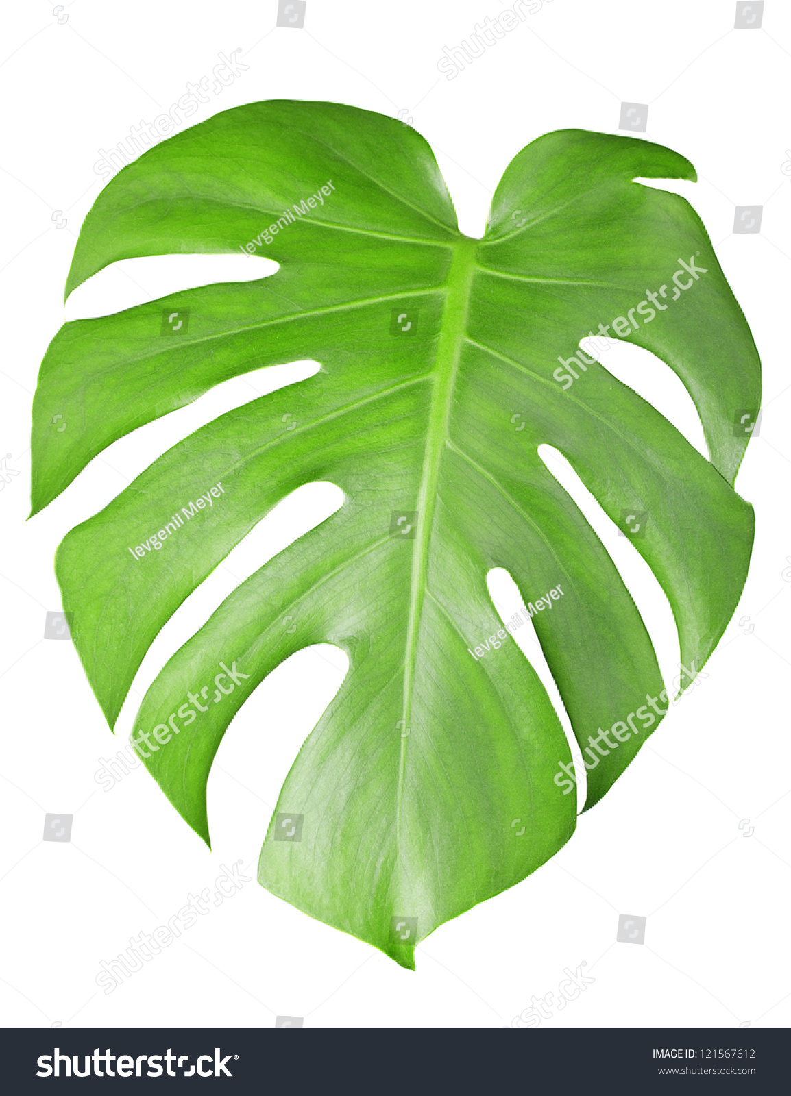 Big Green Leaf Of Monstera Plant Isolated On White Stock