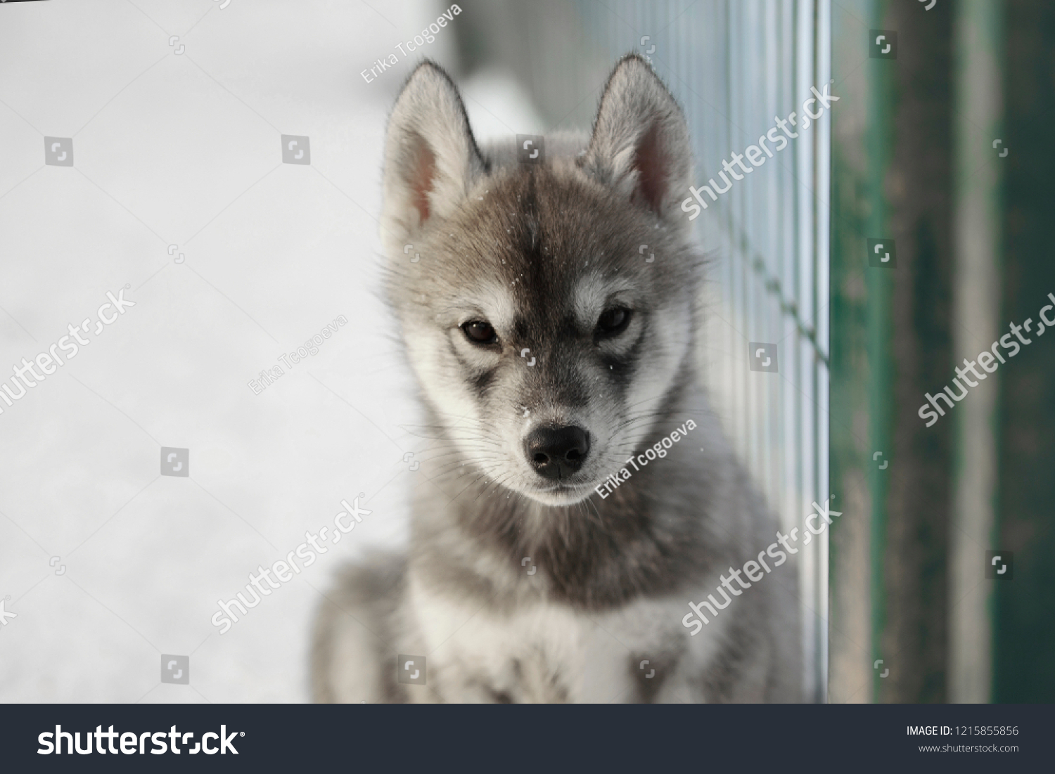 Cute Agouti Siberian Husky Puppies Stock Photo Edit Now 1215855856