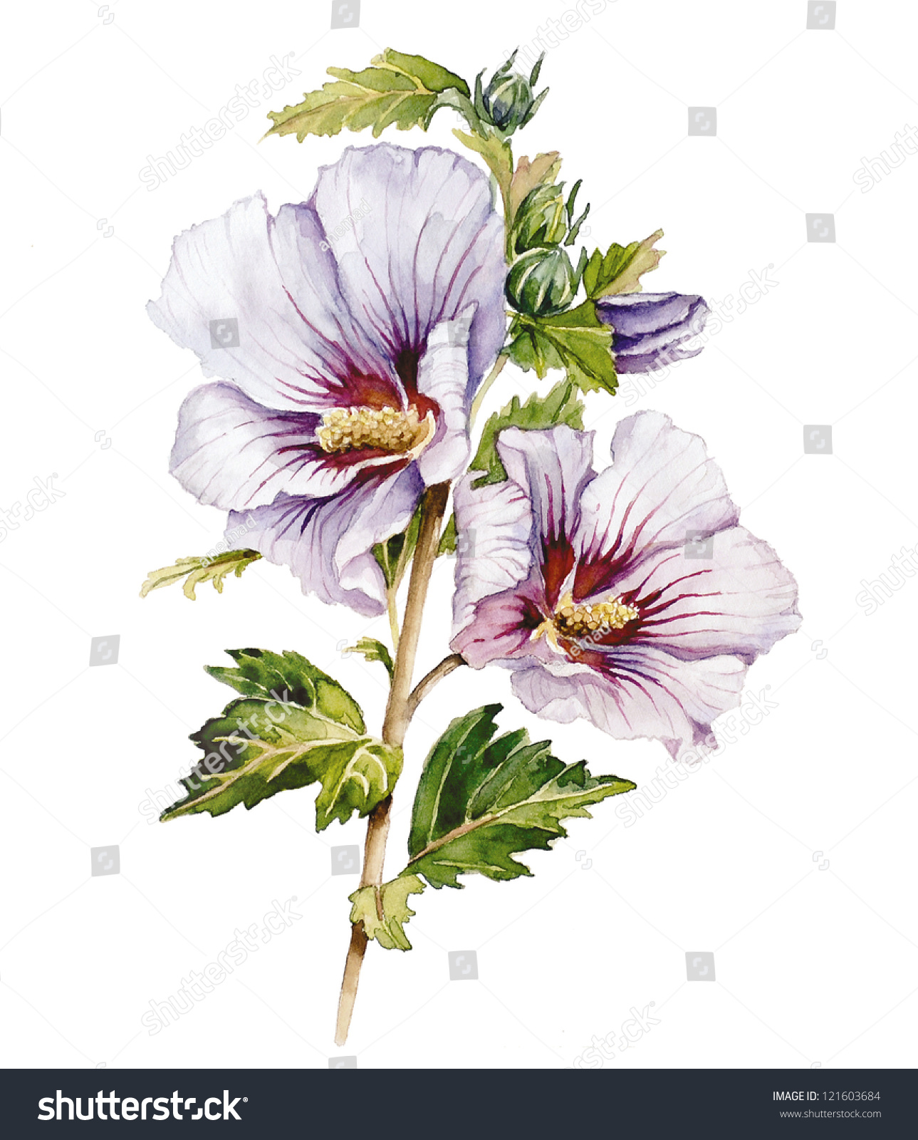 Watercolor Drawing Hibiscus Flower Stock Illustration 121603684