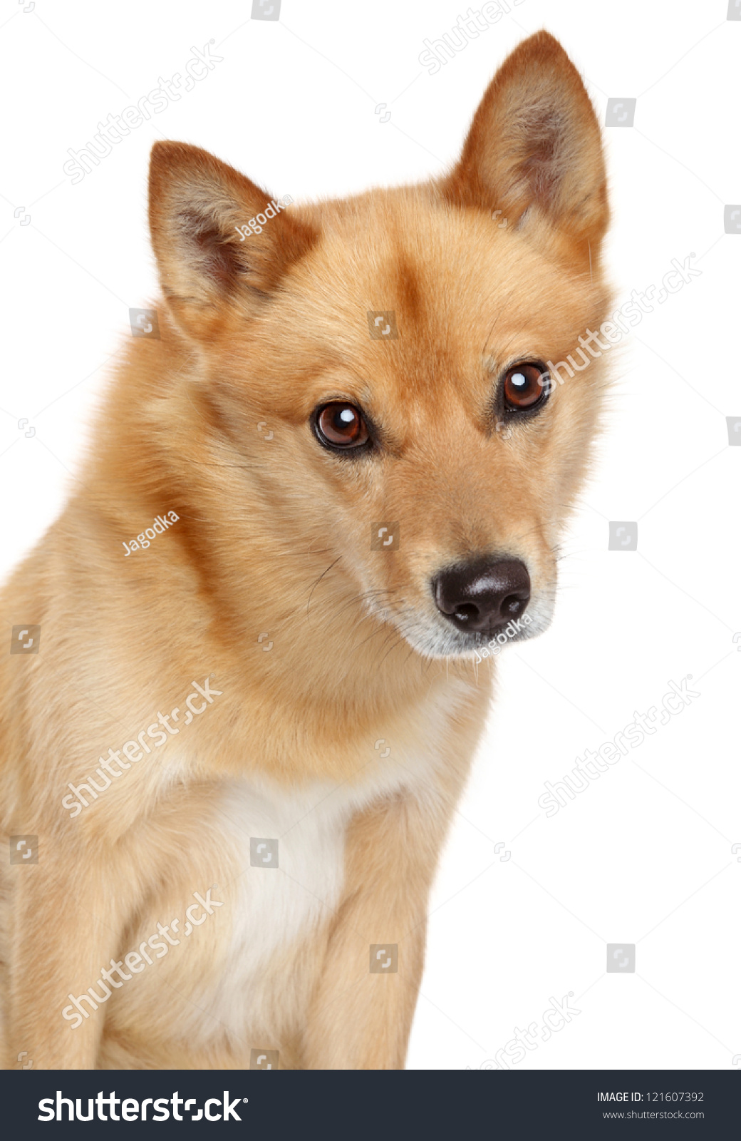 Finnish Spitz Dog (Karelian Finnish Laika) Portrait On A ...