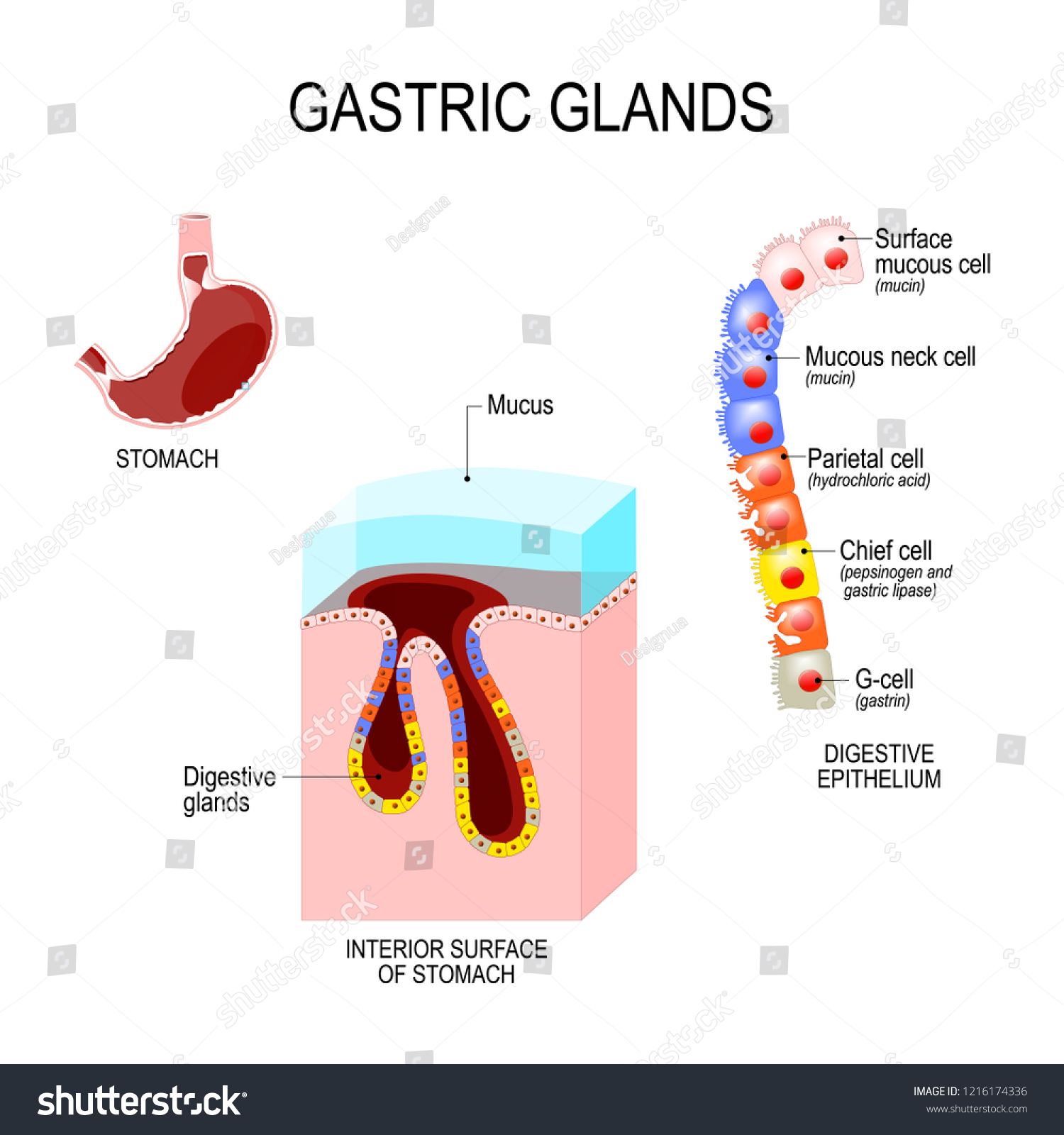 Royalty Free Stock Illustration Of Structure Stomach Interior