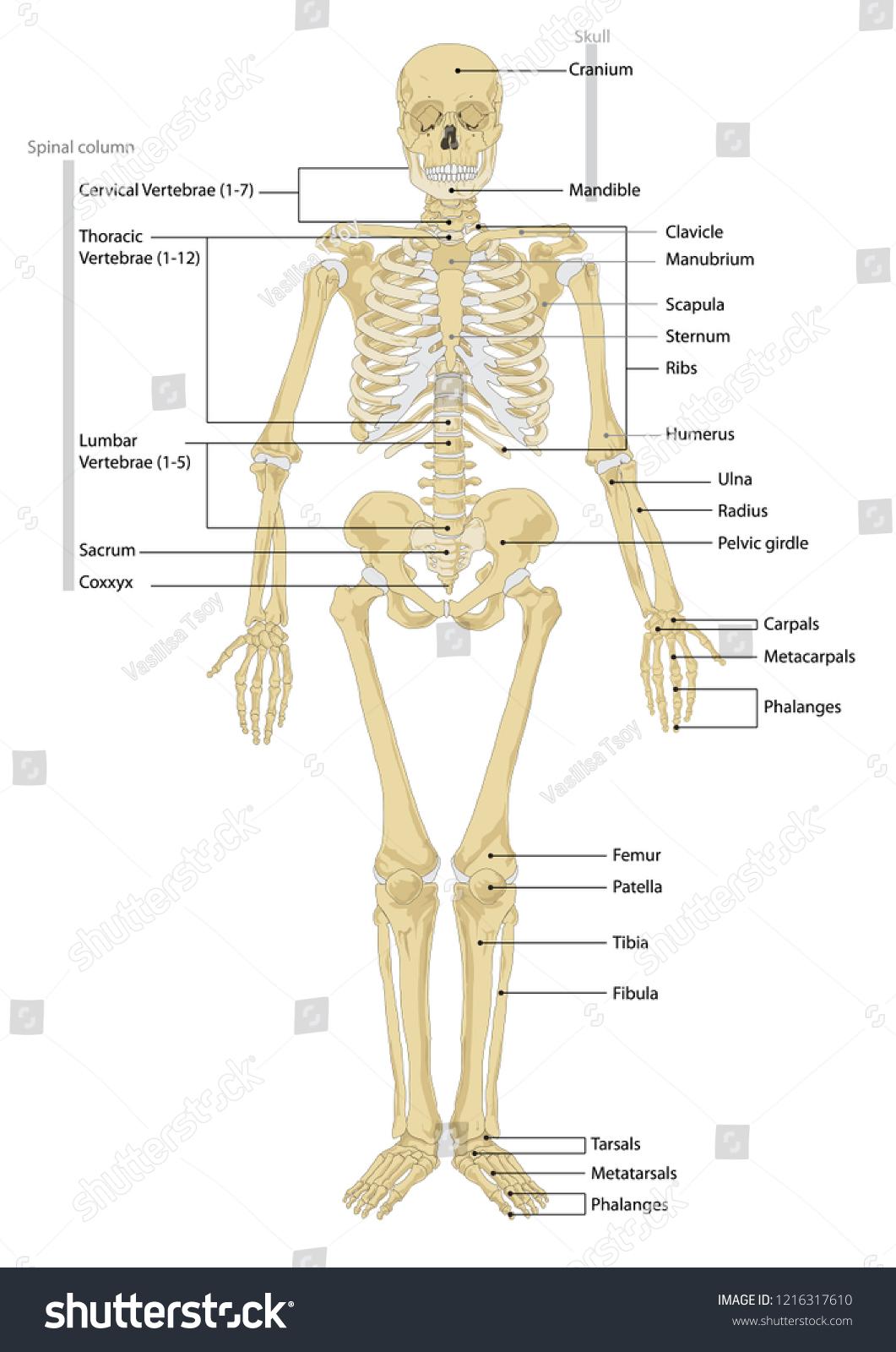 Human Skeleton Anatomy Scheme Vector Illustration Stock Vector