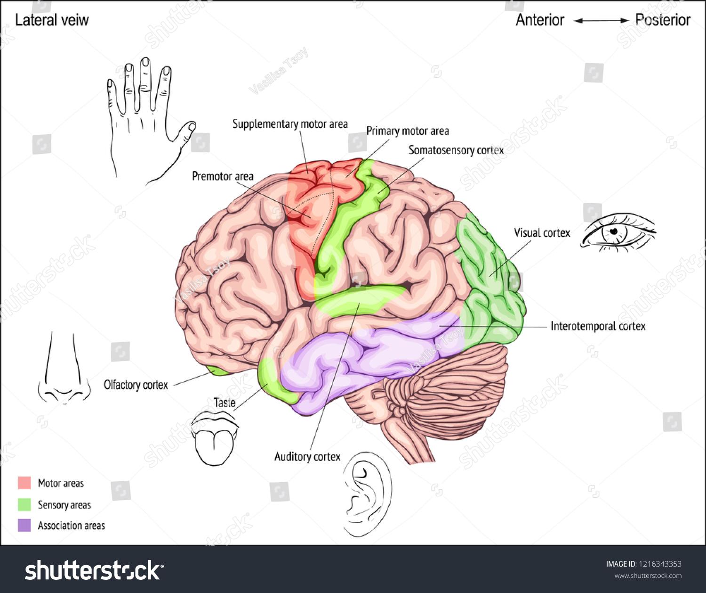 Anatomy Human Brain Areas Cerebral Cortex Stock Vector Royalty Free
