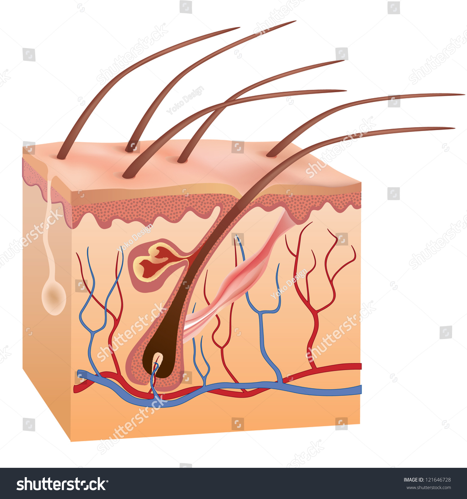 human skin hair structure anatomical sign stock vector 121646728 human skin hair structure anatomical sign stock vector 121646728