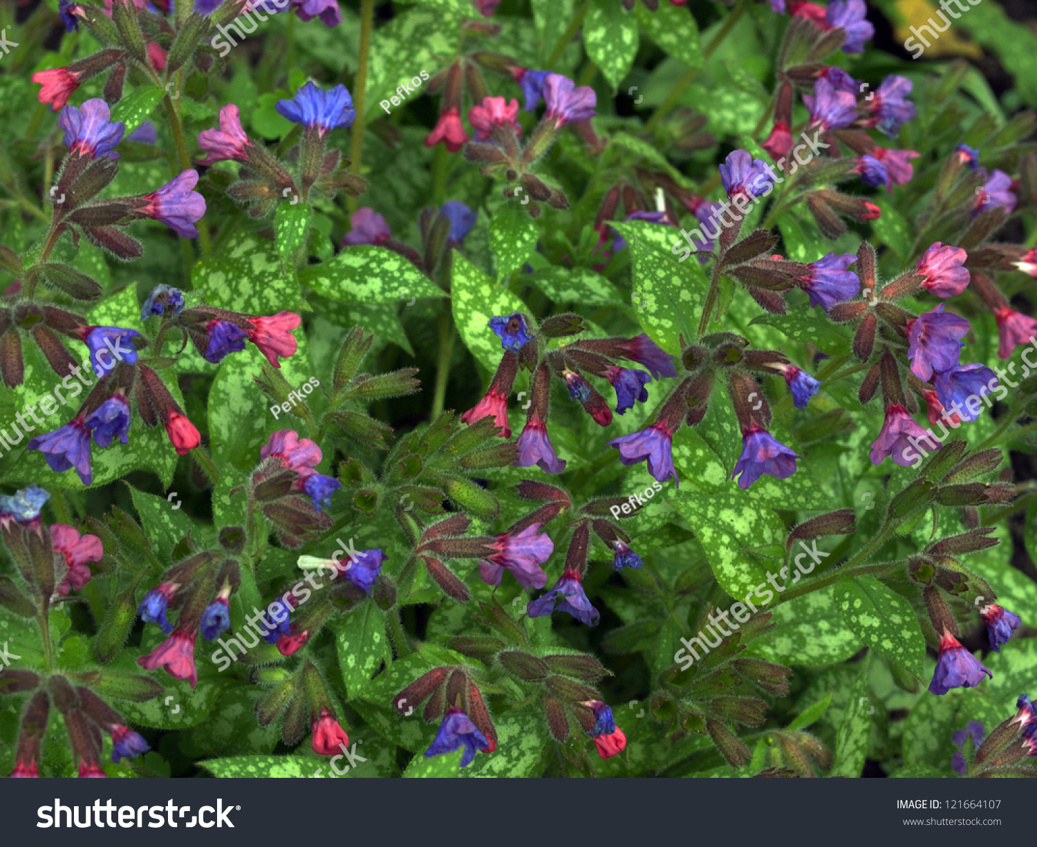 Lungswort plant pink blue flowers stock photo royalty free lungswort plant with pink and blue flowers izmirmasajfo