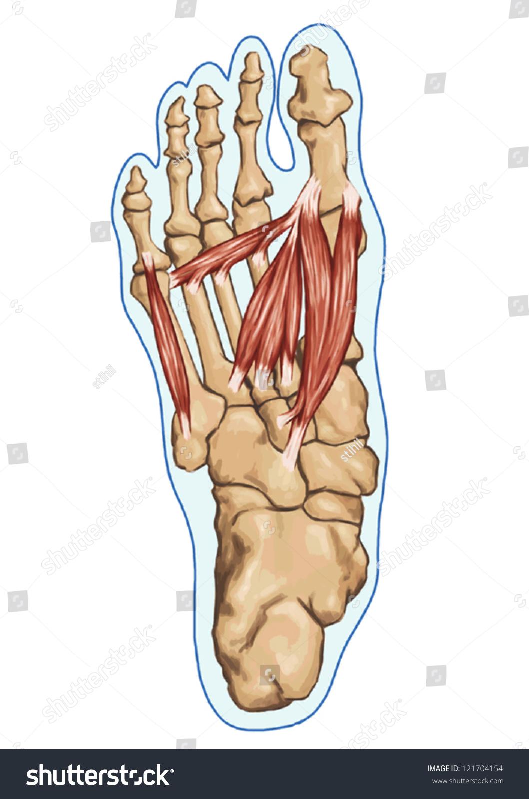 Anatomy Leg Foot Human Muscular Bones Stock Vector 121704154 ...
