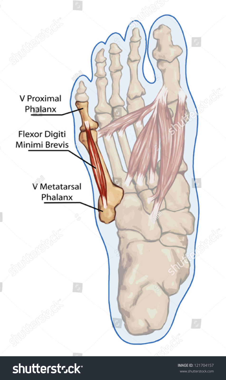 Digiti Minimi Brevis Anatomy Leg Foot Stock Vector Royalty Free