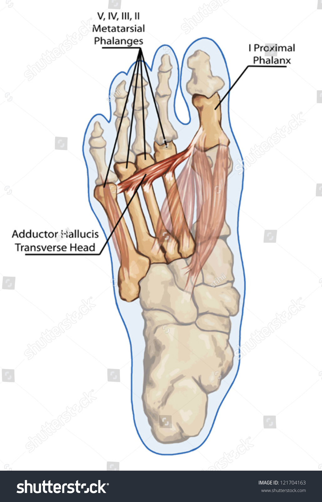 Adductor Hallucis Transverse Head Anatomy Leg Stock Vector (Royalty ...