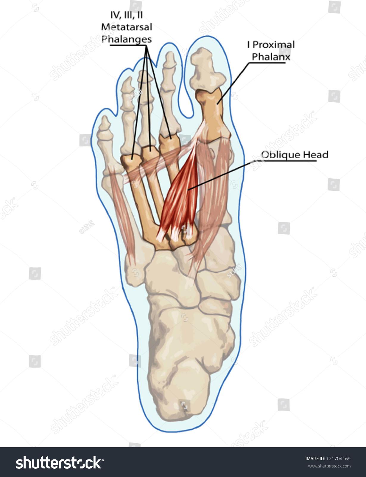 Oblique Head Anatomy Leg Foot Human Stock Vector (Royalty Free ...