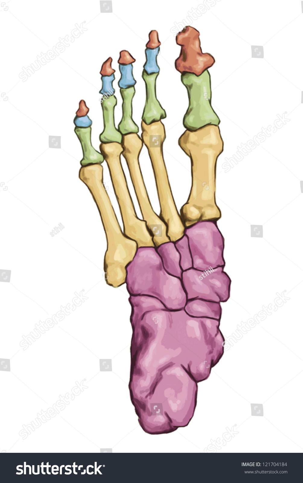 leg skeleton bones template