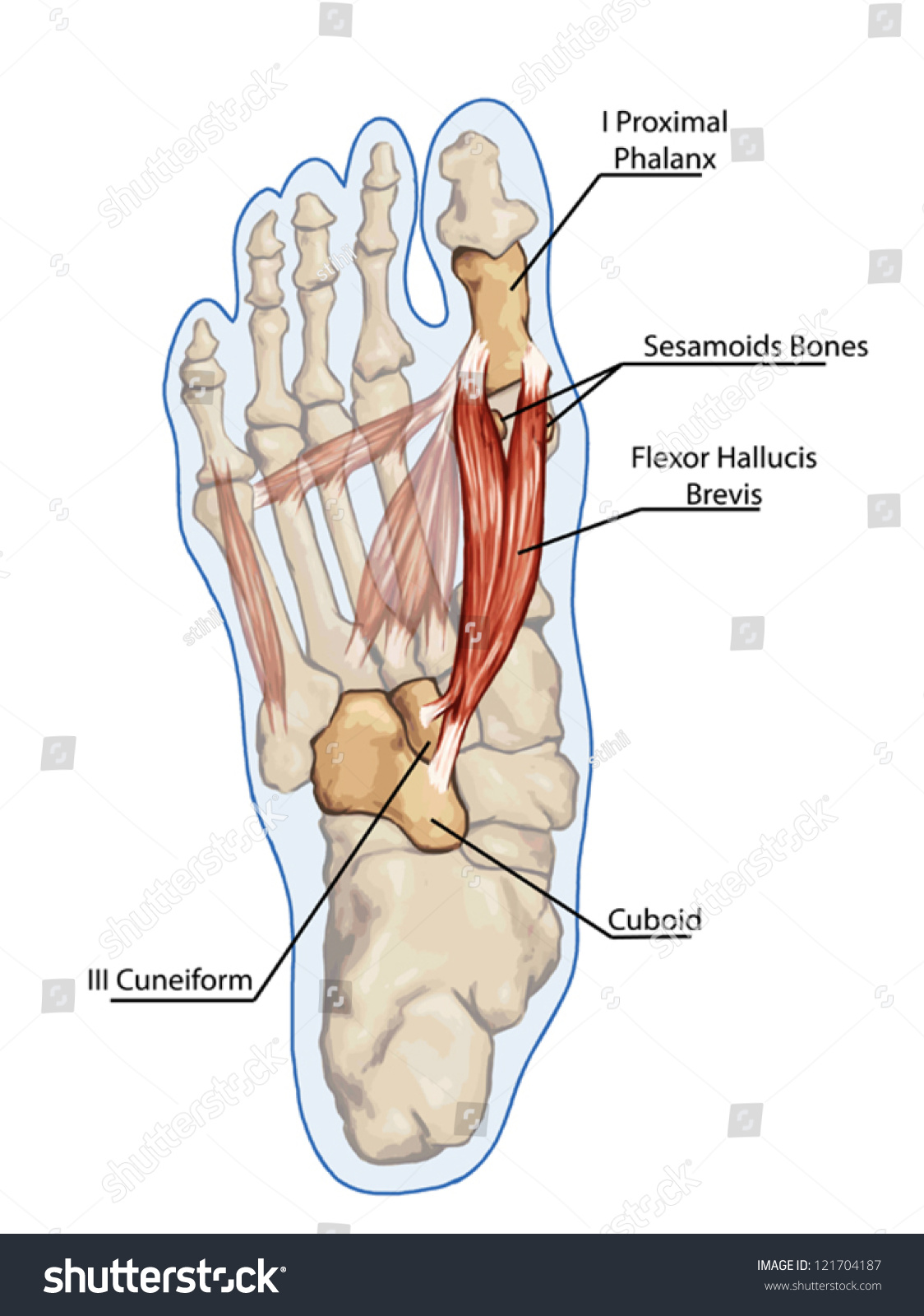 Flexor Hallucis Brevis Anatomy Leg Foot Stock Vector Royalty Free