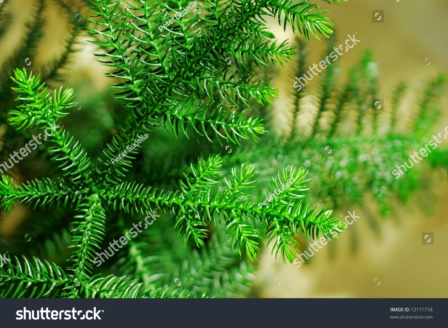 detail of a small indoor pine tree stock photo 12171718. Black Bedroom Furniture Sets. Home Design Ideas