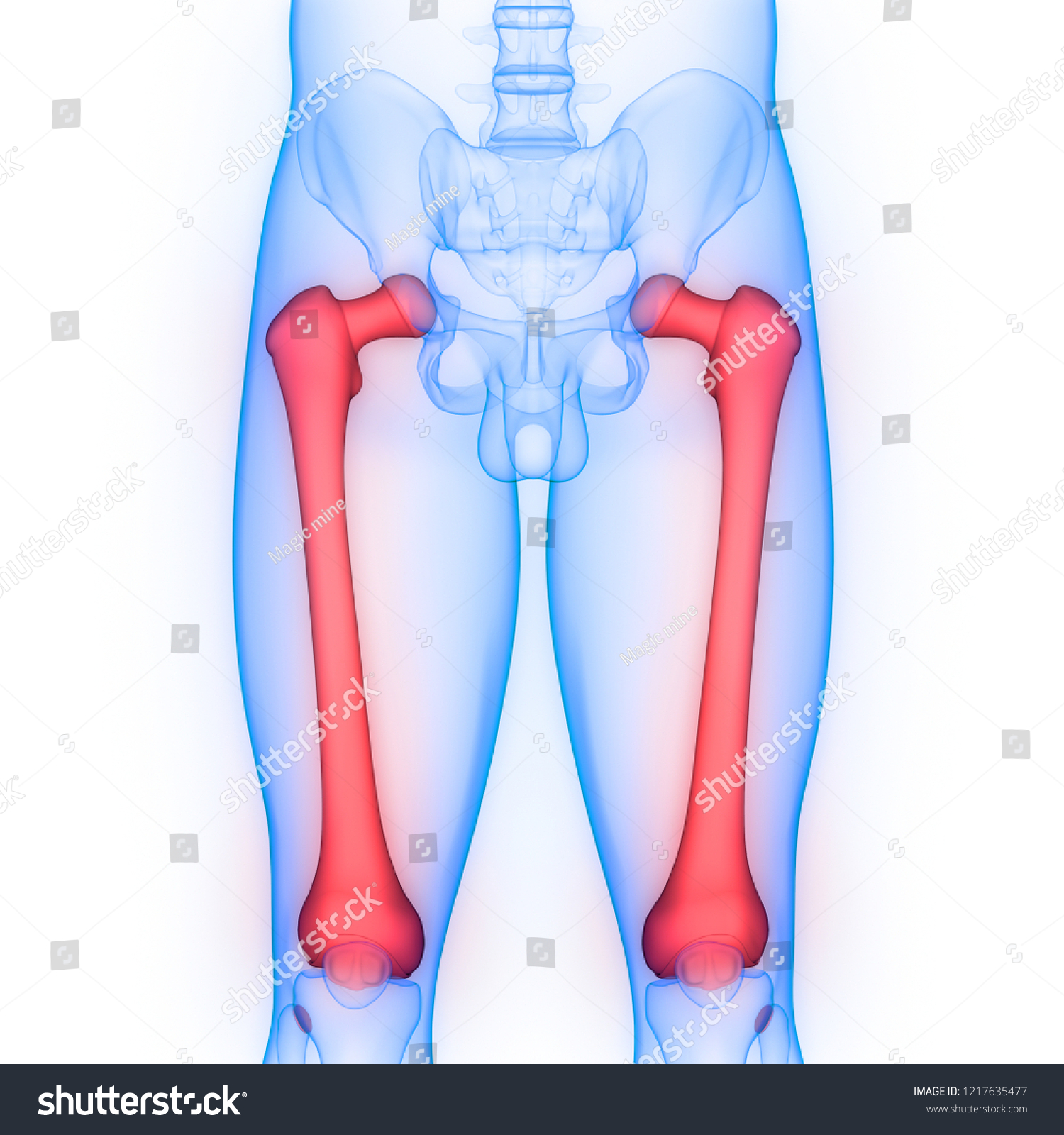 Human Skeleton System Femur Bones Anatomy Stock Illustration