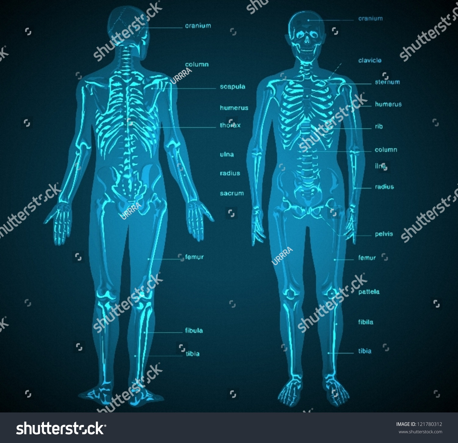 Bones Of Body With Names  mon Bone Names Effortless Movement besides Spine Diagram Labeled Parts Of The Spinal Cord Labeled Anatomy Chart Body besides Regenbogen Rauch Hintergrundbilder moreover Human Body Arteries And Veins Diagram Picture in addition Loveški skelet. on human skeleton