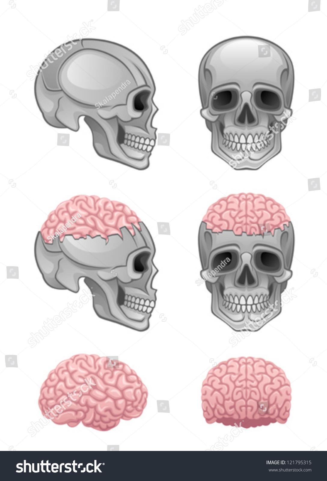 Brain Skull Stock Vector 121795315 - Shutterstock