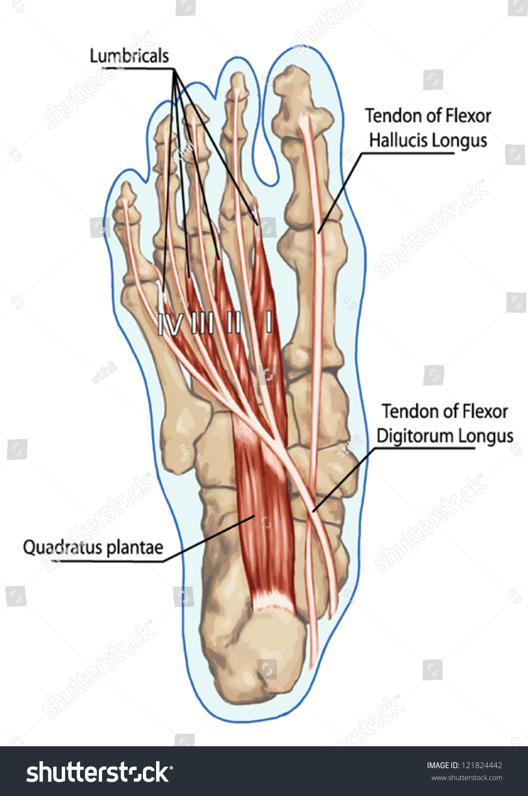 Lubricals Anatomy Leg Foot Human Muscular Stock Vector Royalty Free