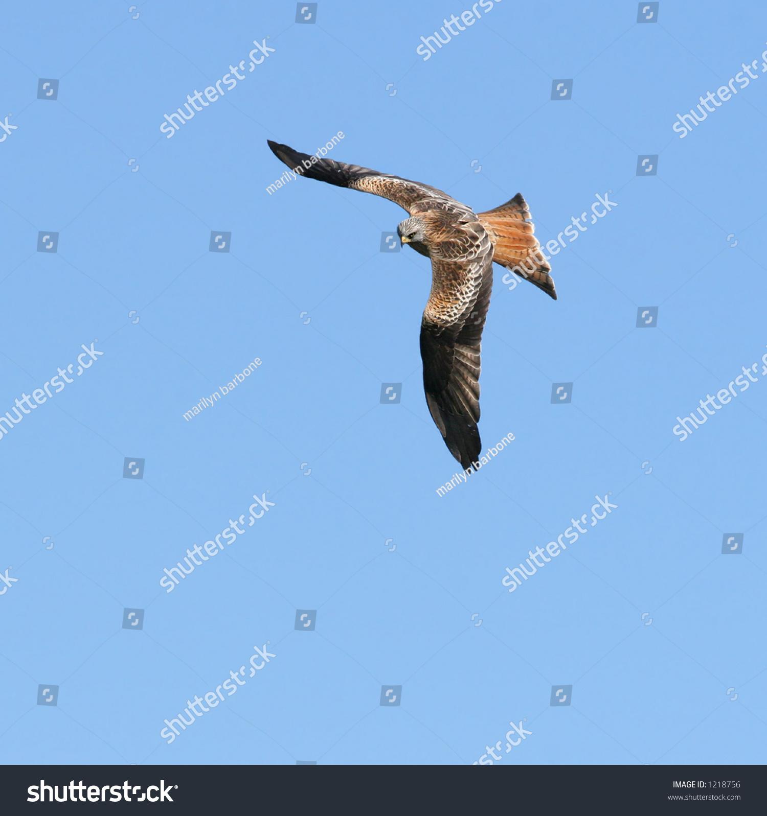Stock Photo Red Kite
