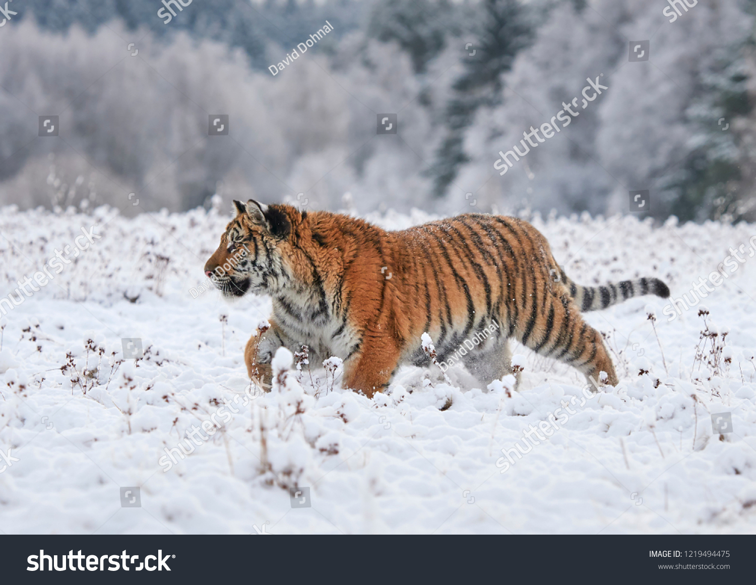 The Siberian tiger (Panthera tigris tigris)       #1219494475