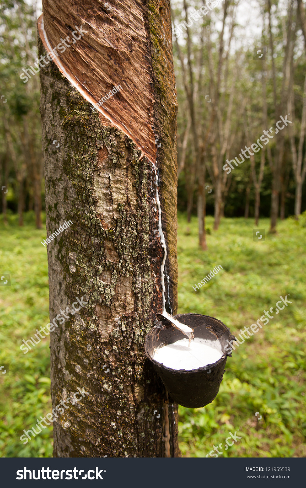 Latex rubber fromhevea brasiliensis