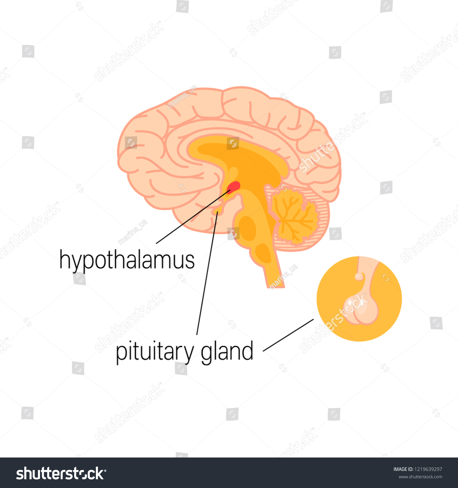 Cross Section Human Brain Hypothalamus Pituitary Stock Vector