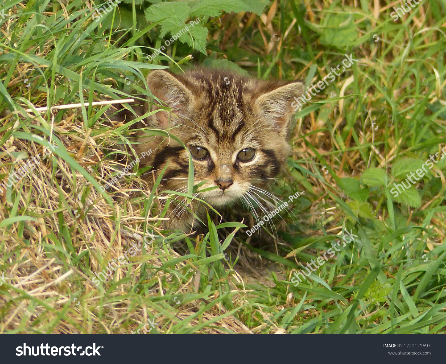 Scottish native wildcat wild cat Felis silvestris grampia kitten face eyes