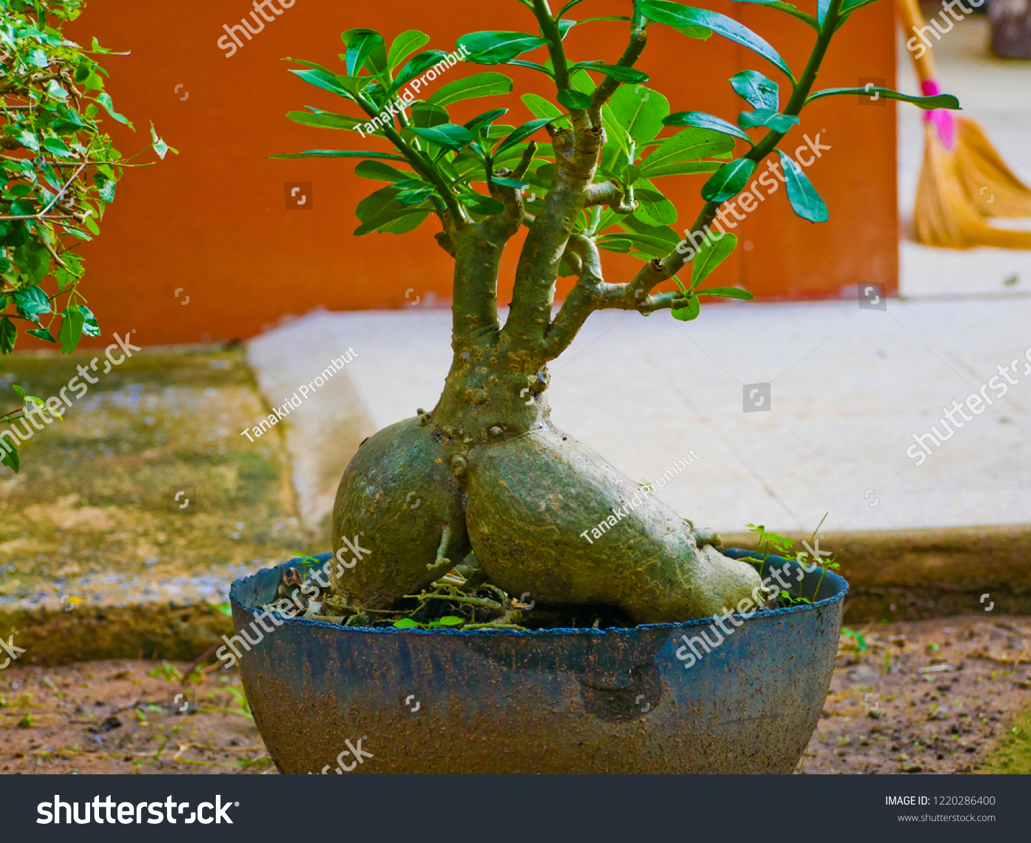 This Bonsai Dwarf Plant People Love Stock Photo Edit Now 1220286400