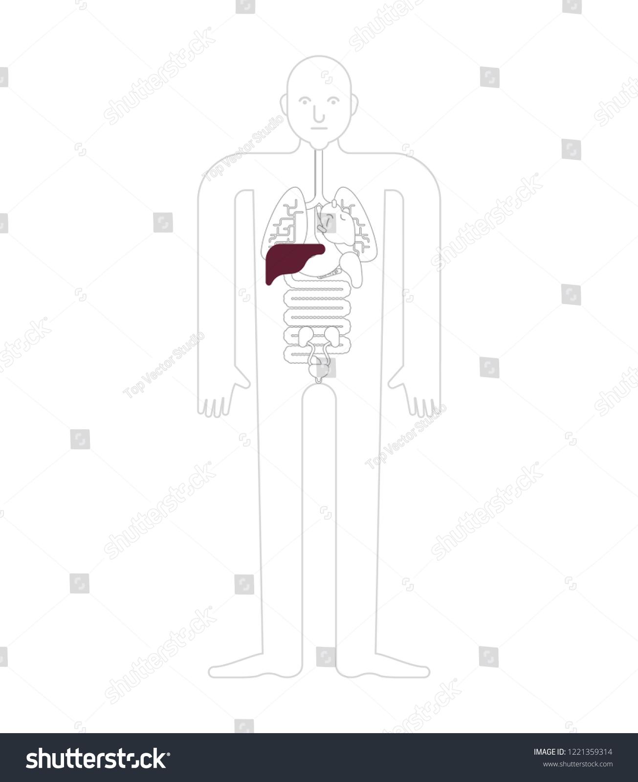 Liver Human Anatomy Gastrointestinal Tract Internal Stock Vector