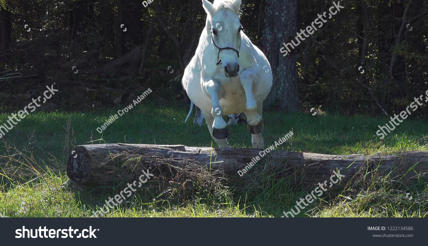 Fat White Grey Arabian Horse Jumping Stock Photo Edit Now 1222134586