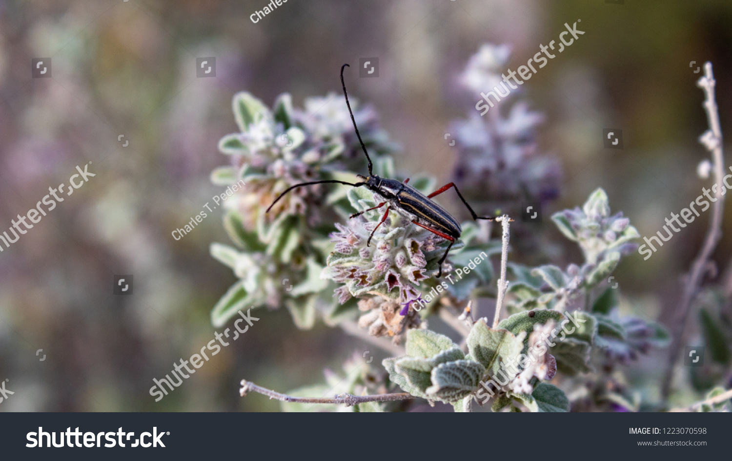 Doublebanded Bycid Beetle On Desert Lavender Stock Photo Edit Now