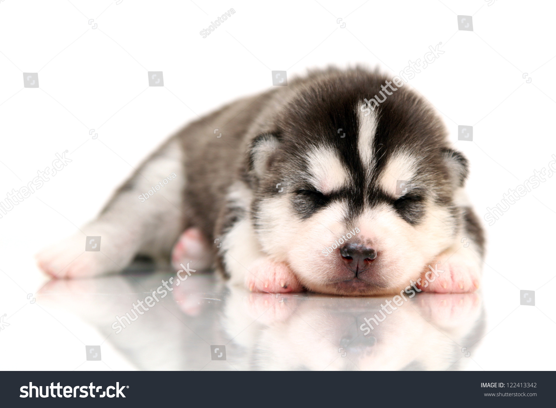 Newborn siberian husky puppy age of 14 days stock photo 122413342