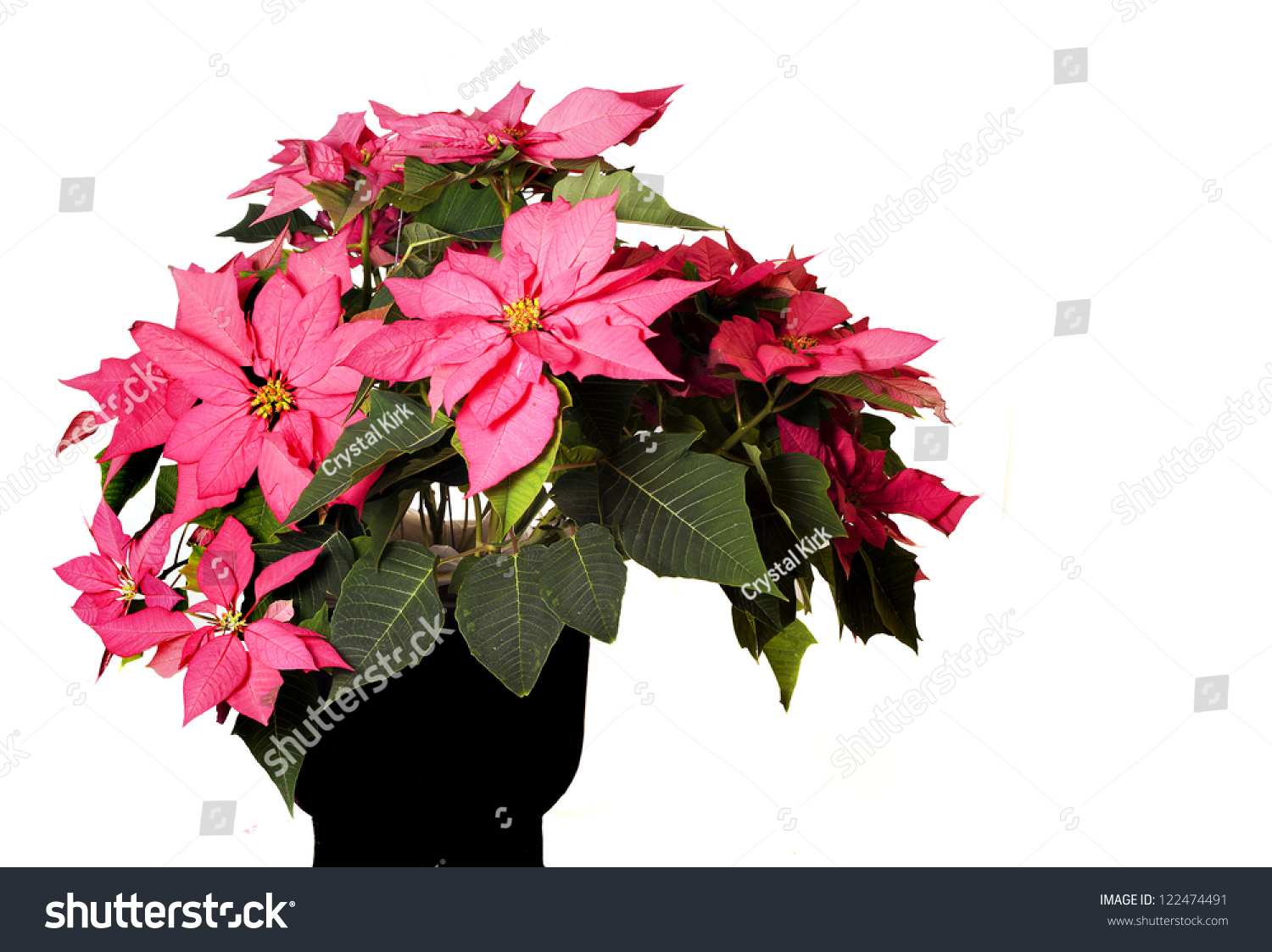 A Beautiful Pink Christmas Poinsettia Flower In A Black Vase And