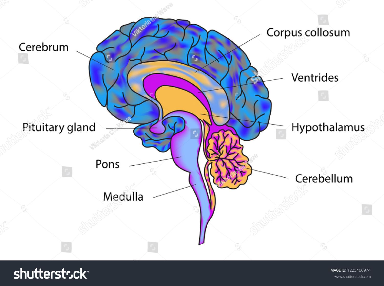 vector illustration human brain anatomy structure stock vector