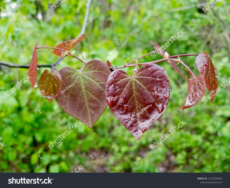 Heartshaped Leaves Eastern Redbud Tree Cercis Stock Photo Edit