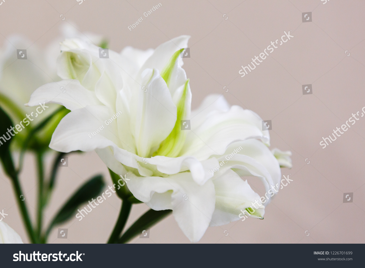lily flowers lily lat genus plants stock photo (edit now) 1226701699