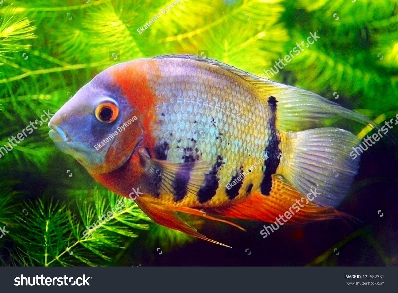 Fish for big aquarium - Big Fish In Aquarium Green Water Plants Background