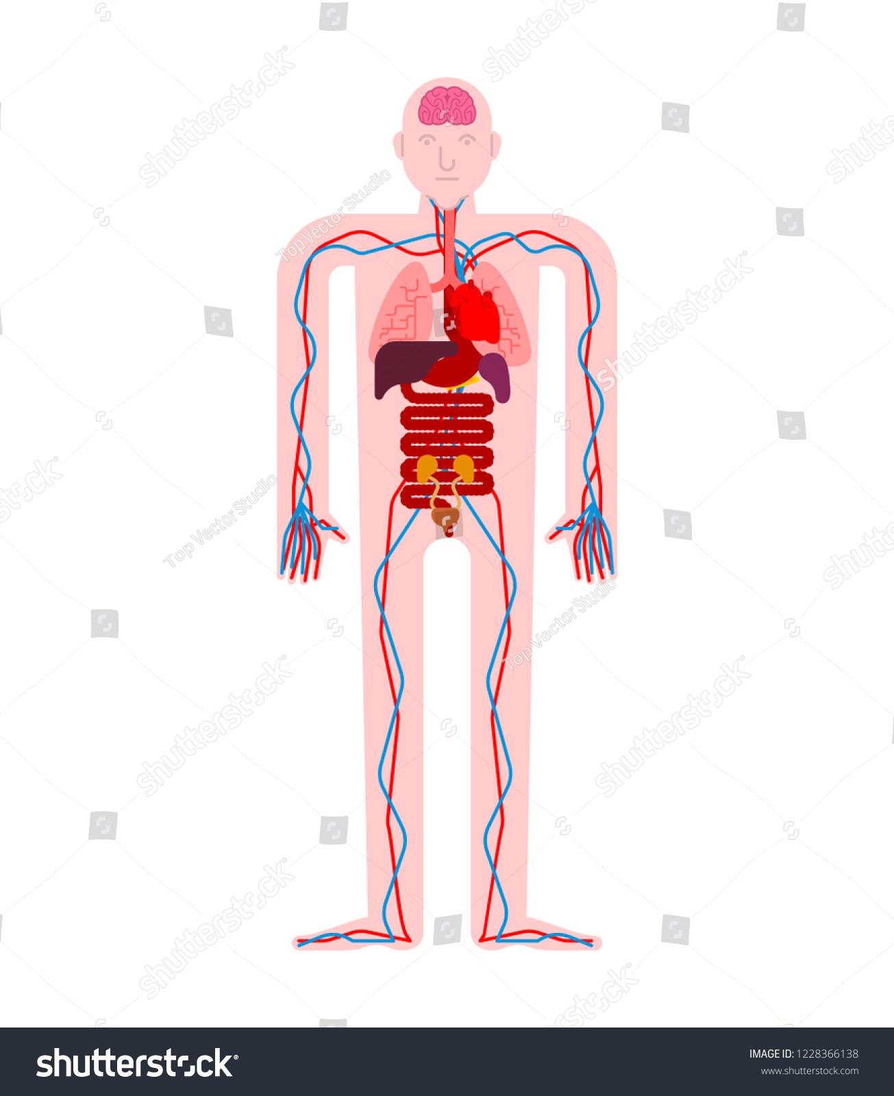 Human Anatomy Organs Internal Systems Man Stock Vector Royalty Free