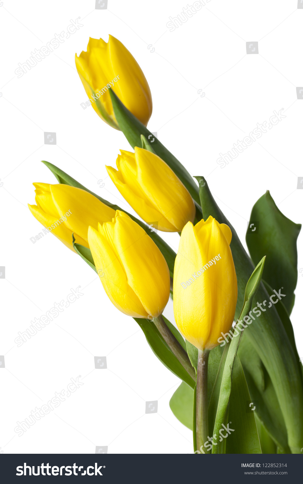 Yellow Tulip White Background