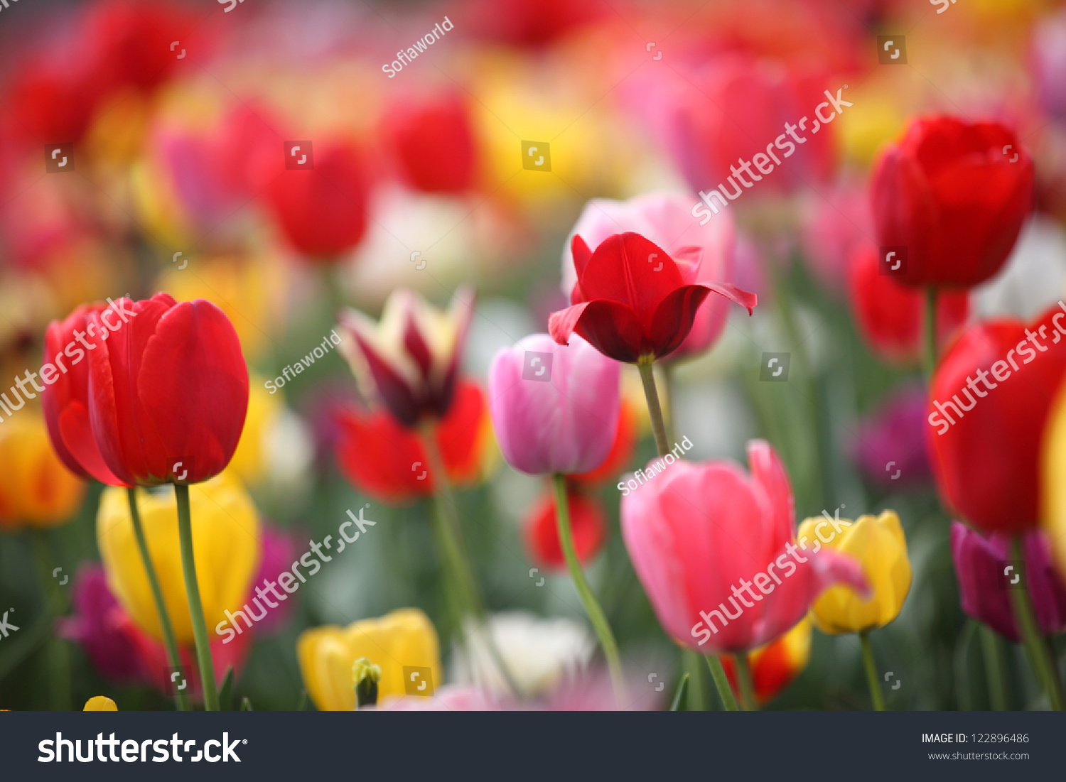 Colorful spring flowers tulips stock photo 122896486 shutterstock colorful spring flowers tulips mightylinksfo Image collections