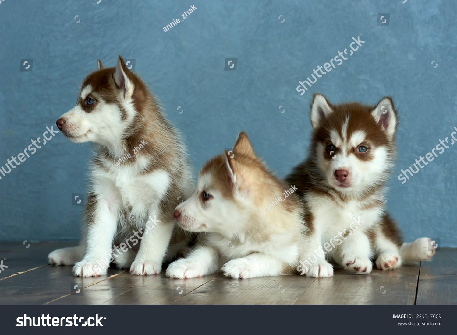 Three Blue Eyed Copper And Light Red Husky Puppies On Wooden Floor And Gray Blue Background