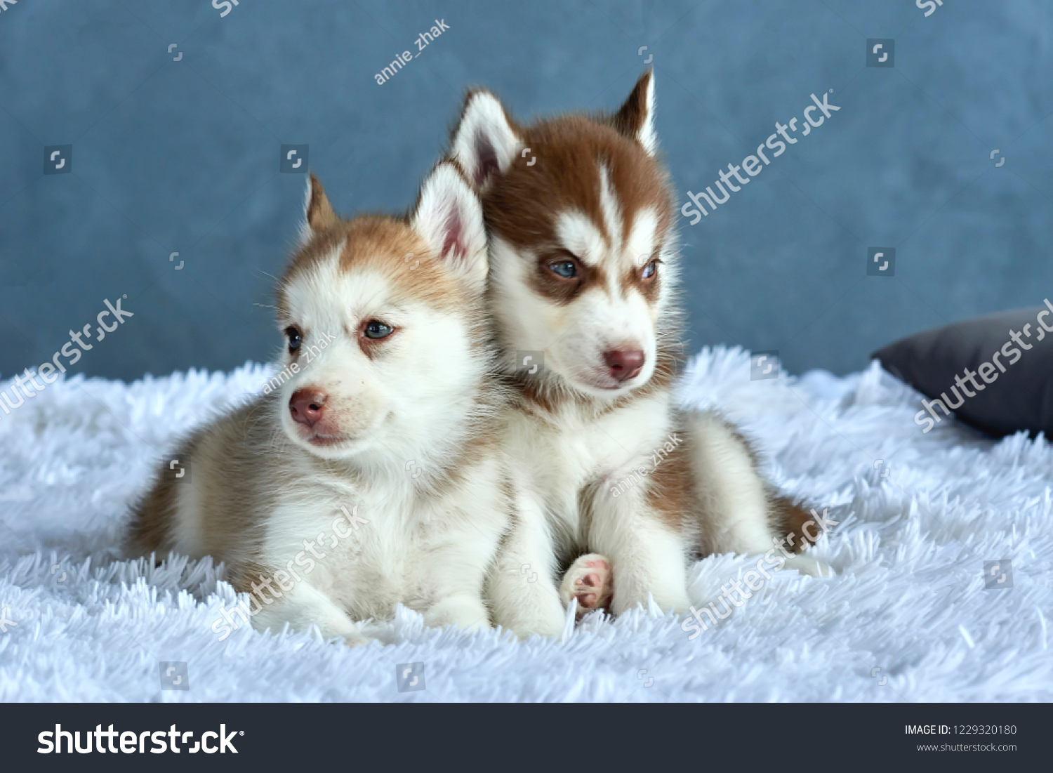 Two Blueeyed Copper Light Red Husky Stock Photo Edit Now 1229320180