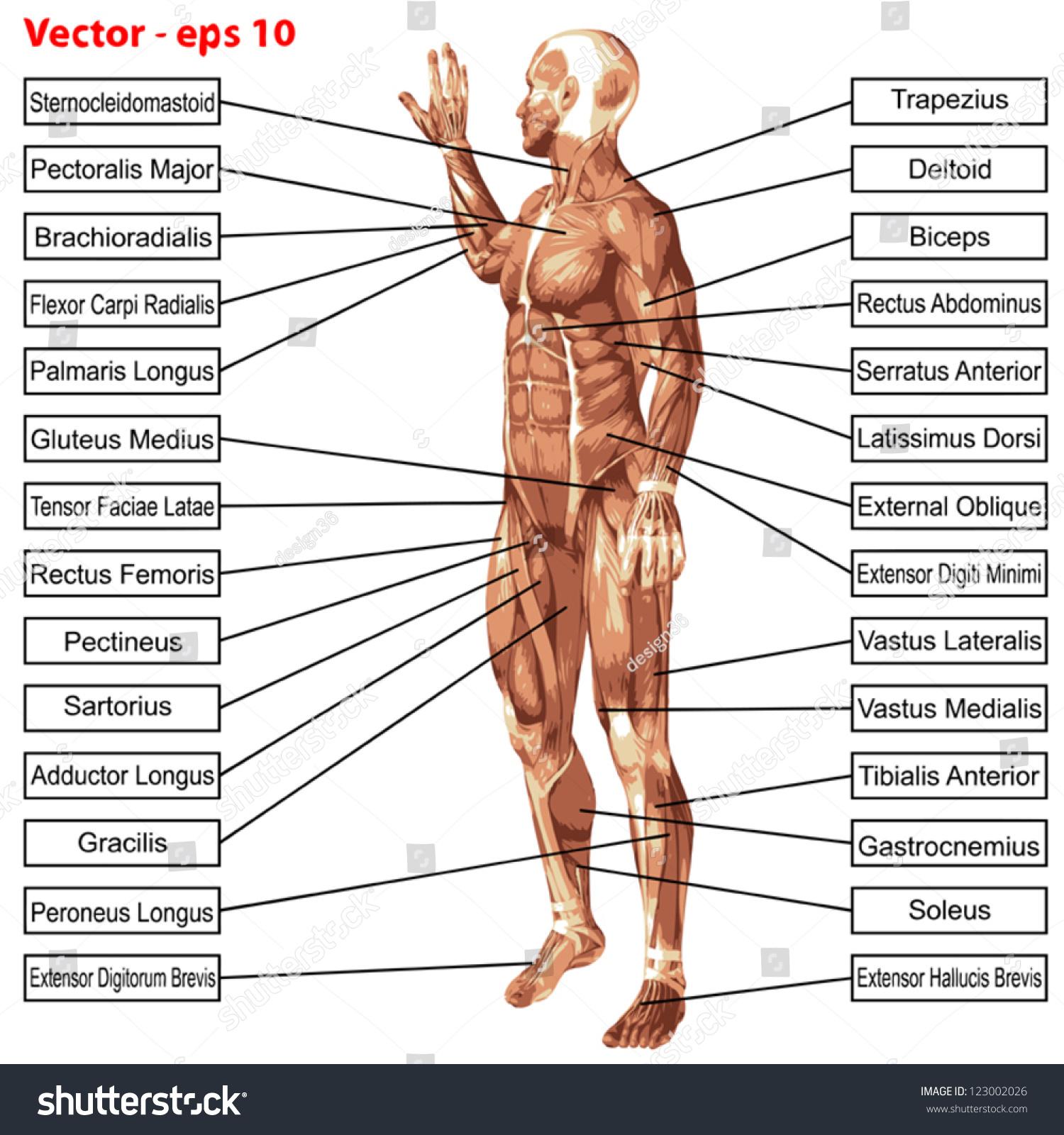 Groß Pictures Of The Human Anatomy Ideen - Menschliche Anatomie ...