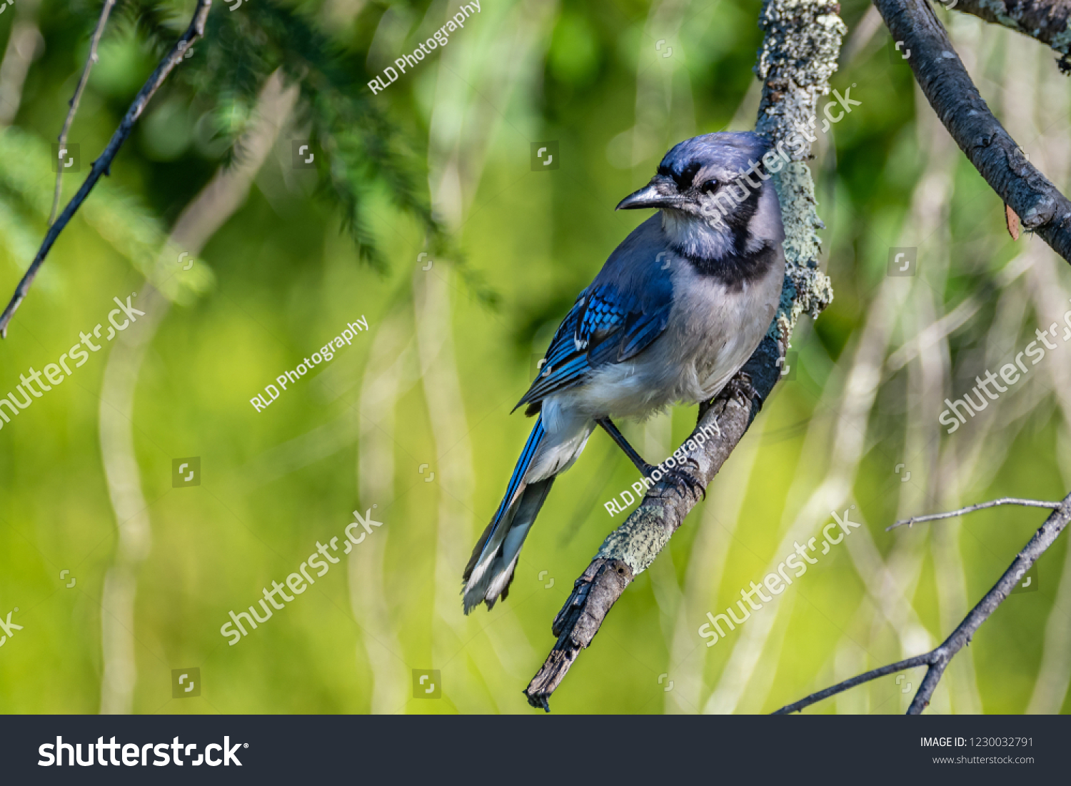 An image of a Blue Jay (Cyanocitta Cristata of the family Crvidae) perched at the very end of an old dead tree branch curiously looking around