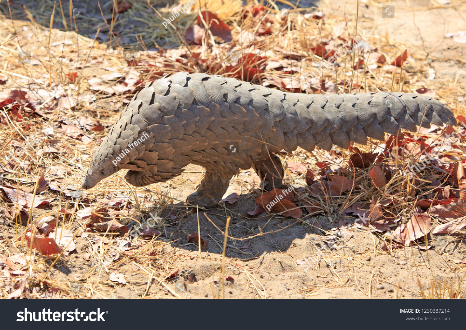 Critically endangered Pangolin walking in the bush- Scientific name Manis - it was sighted in the african bush in Hwange National Park, Zimbabwe.  These are most traffiked animal in the world