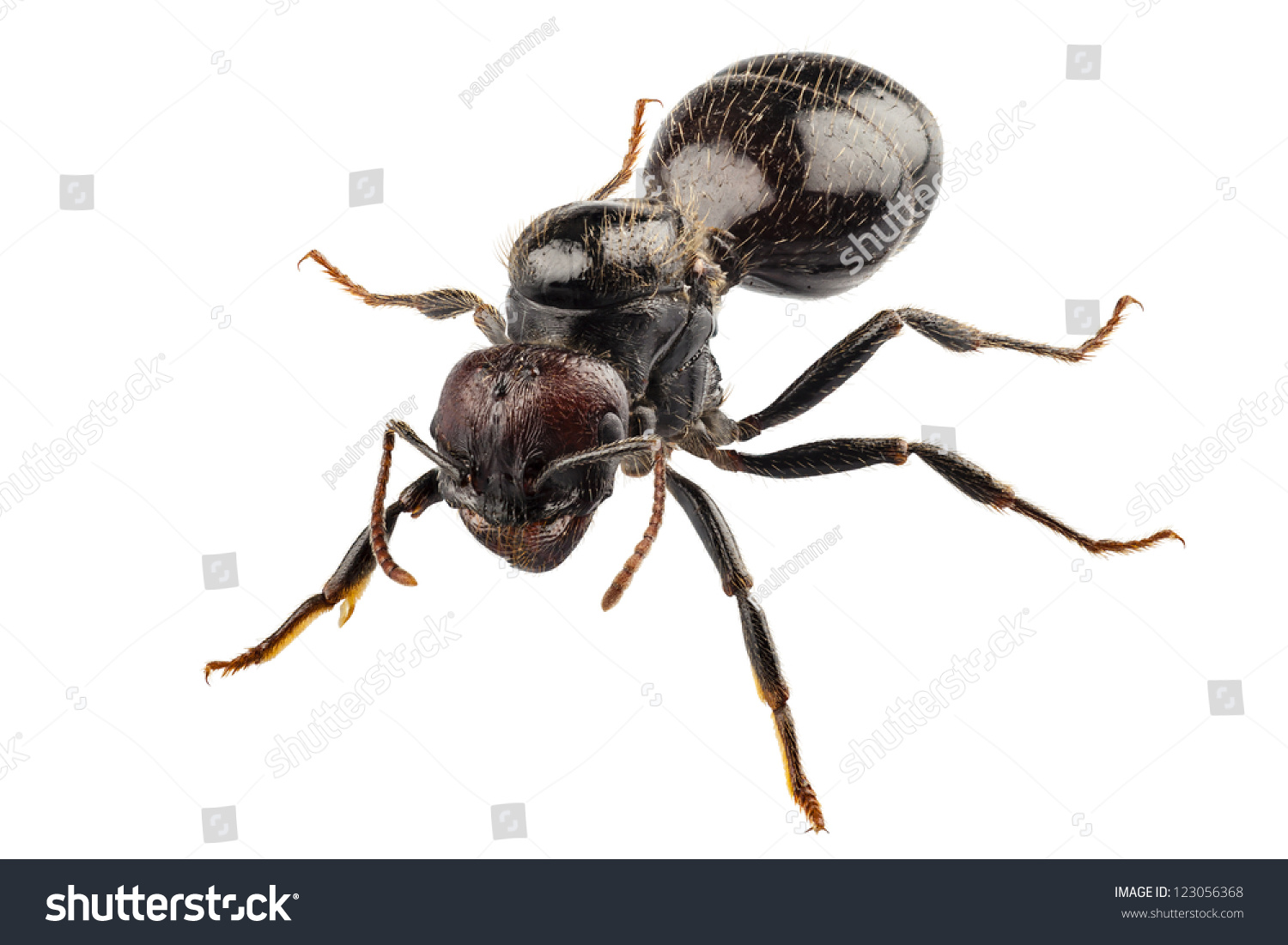 Black Garden Ant Species Lasius Niger Stock Photo 123056368   Shutterstock