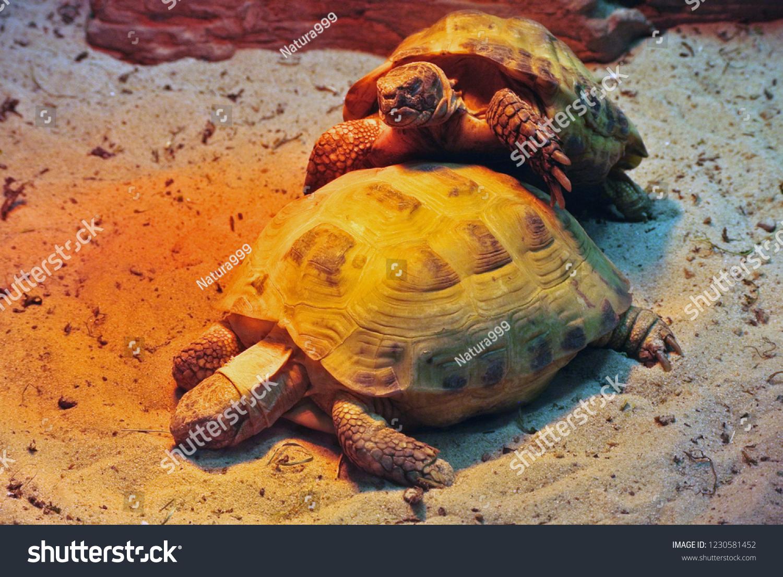 Two Land Turtles Terrarium On Sand Stock Photo Edit Now 1230581452