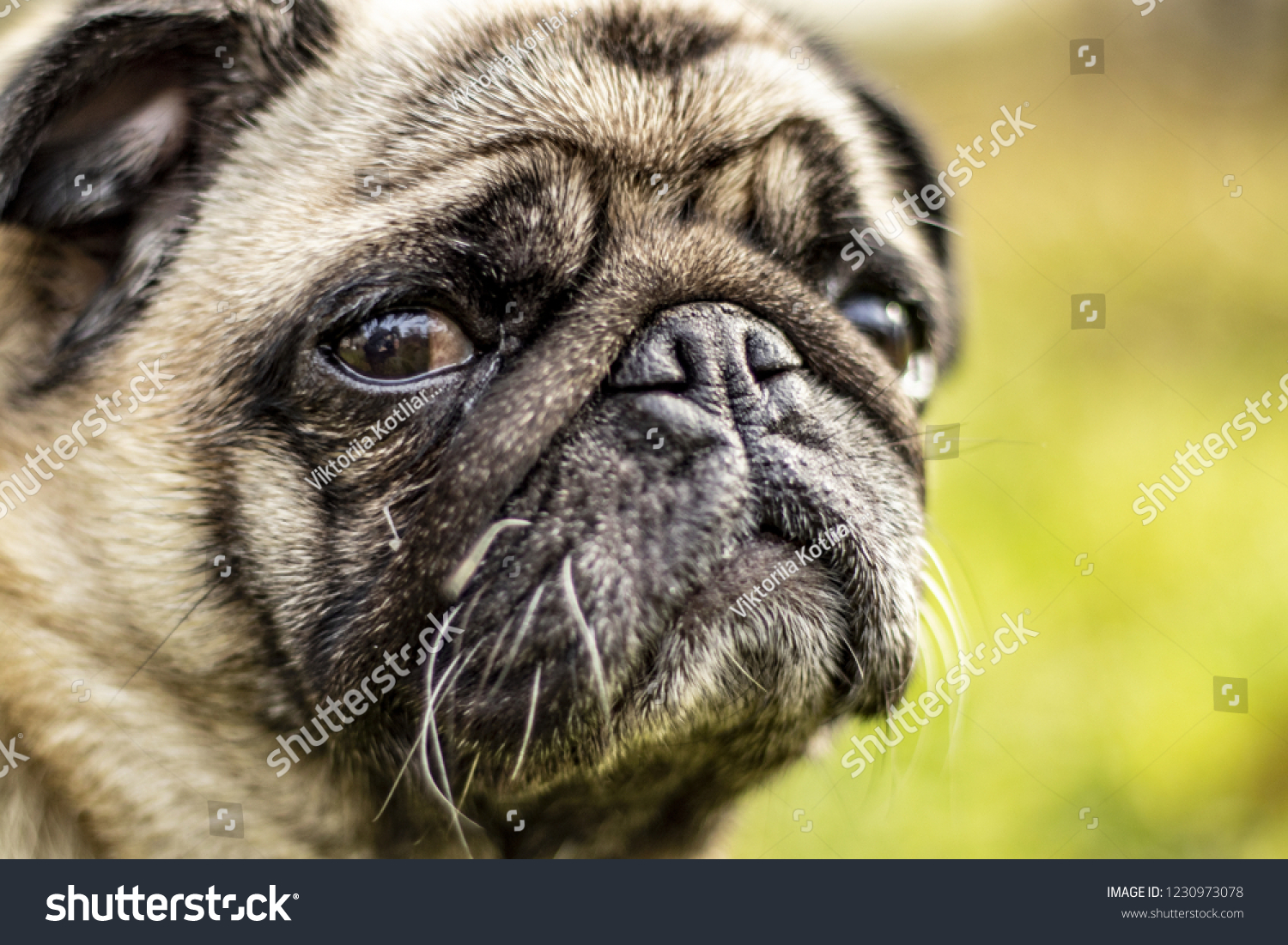 Portraits look at a beautiful lonely white fat dog pug making a funny sad