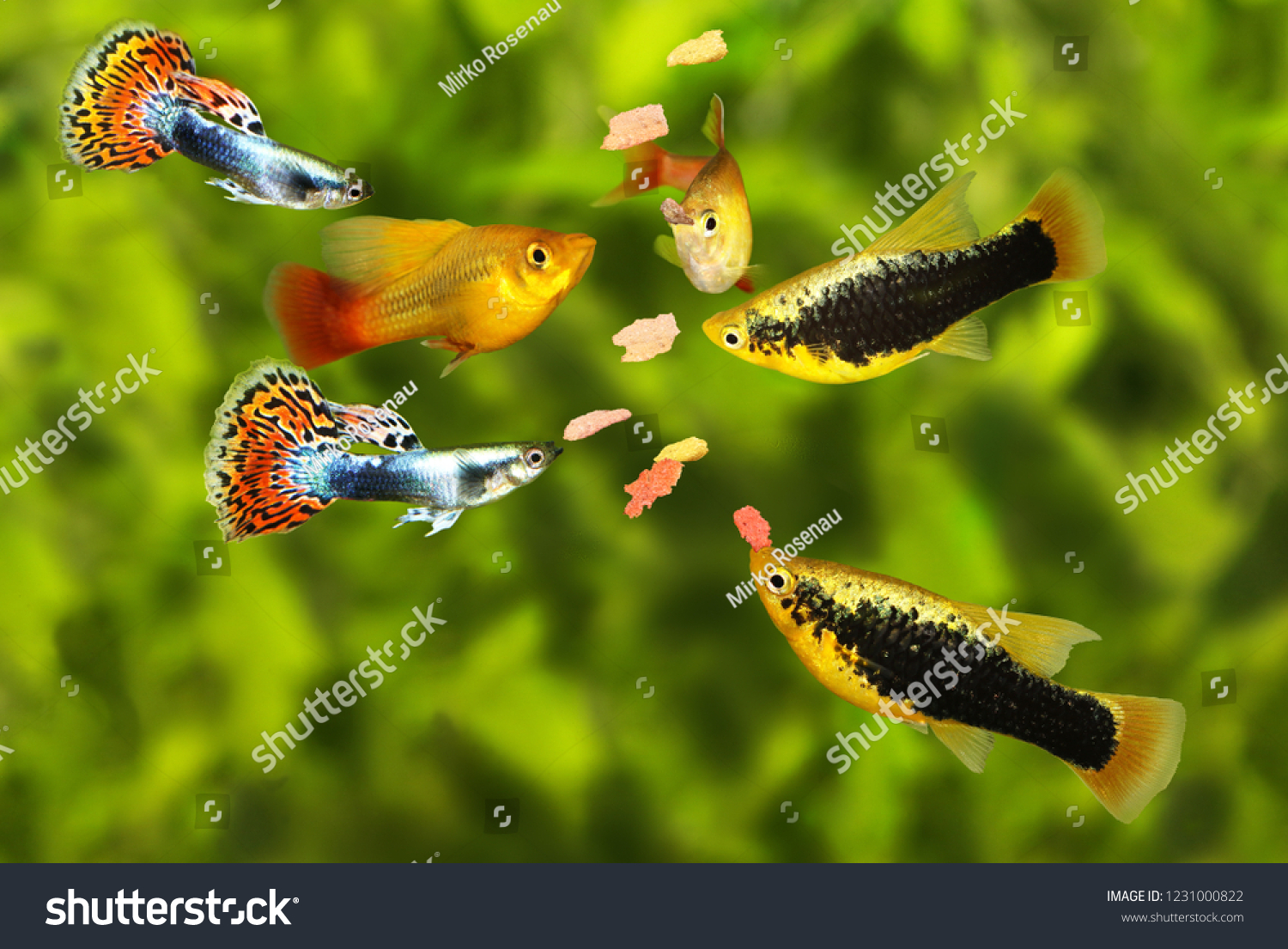 Feeding Swarm Aquarium Fish Eating Flake Stock Photo Edit Now