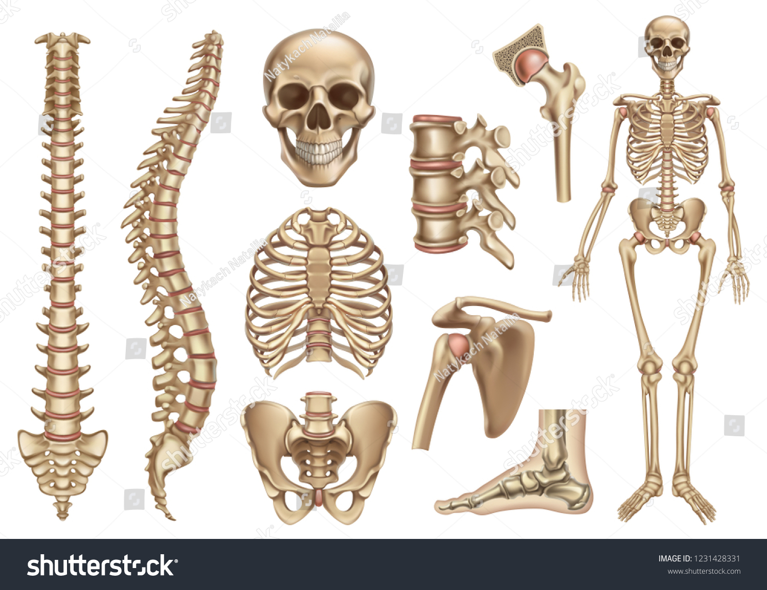 Human Skeleton Structure Skull Spine Rib Stock Vector Royalty Free
