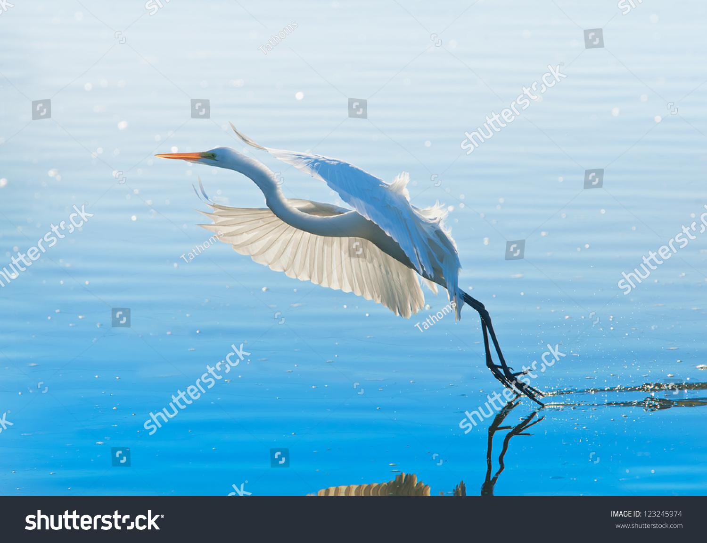 stock-photo-great-egret-in-flight-latin-
