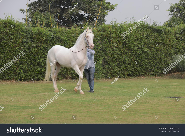 Beautiful White Horse Indian Horse Stock Photo Edit Now 1233245533
